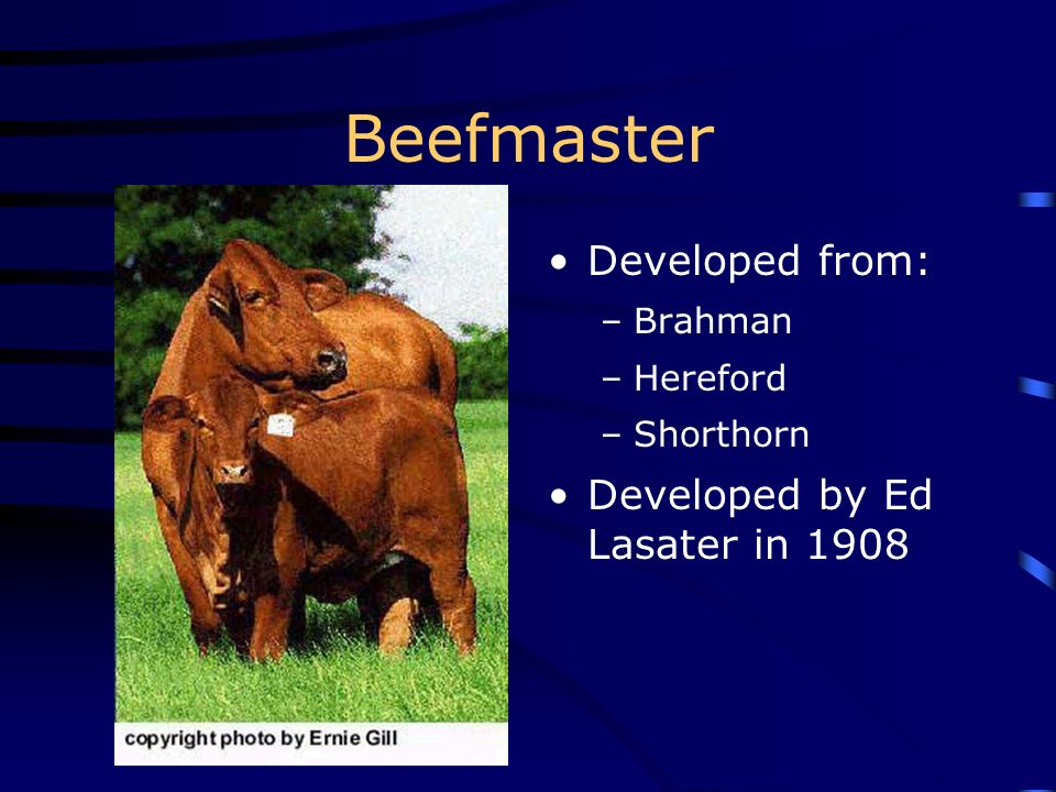 Beefmaster Developed from: Developed by Ed Lasater in 1908 Brahman