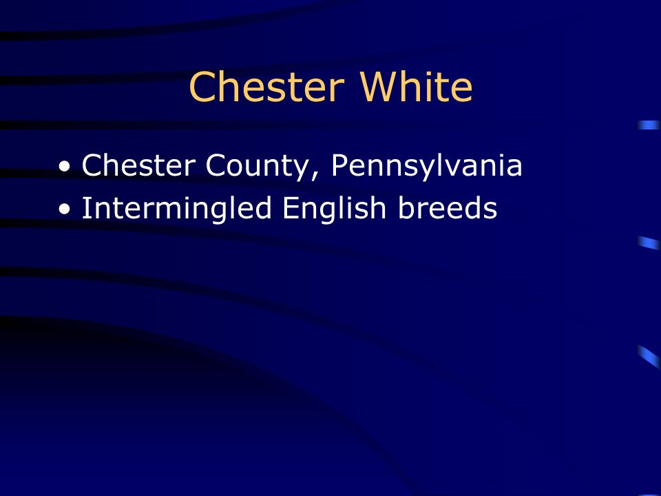 Chester White Chester County, Pennsylvania Intermingled English breeds