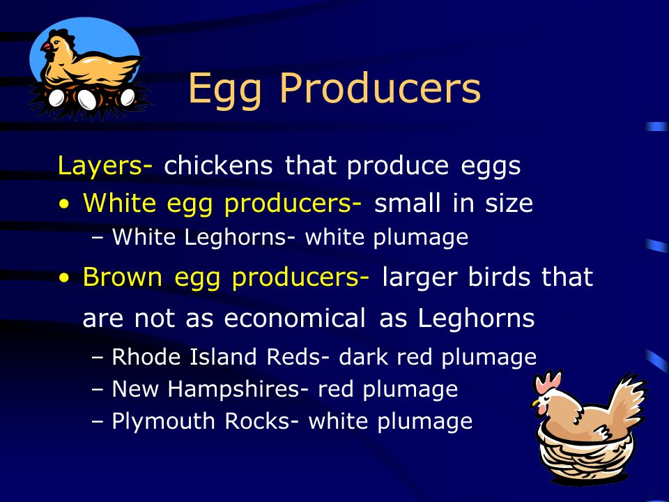 Egg Producers Layers- chickens that produce eggs