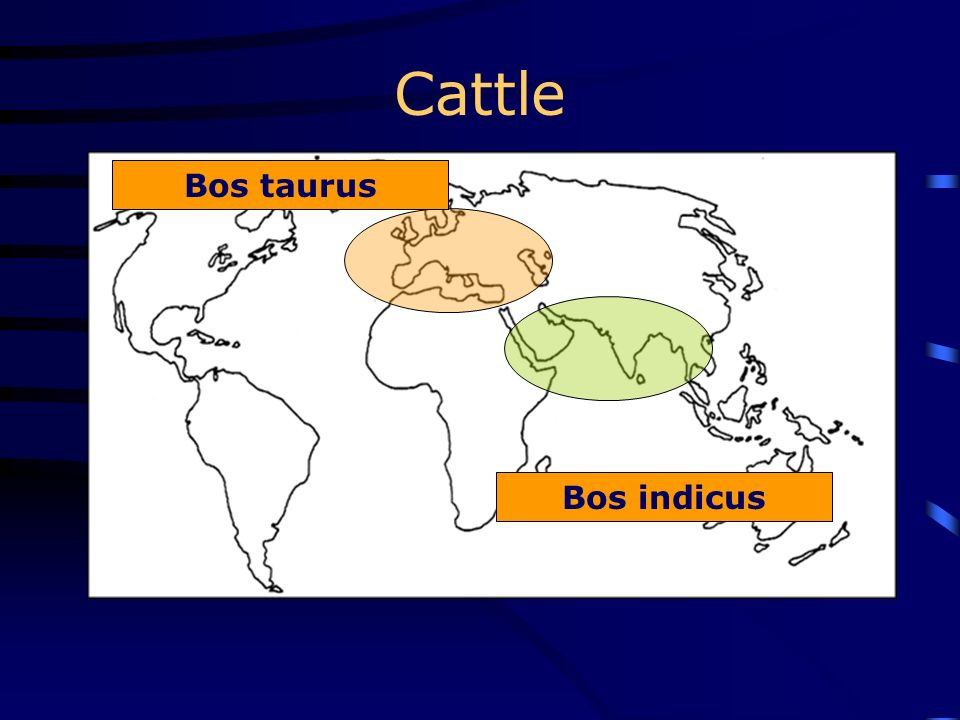 Cattle Bos taurus Bos indicus