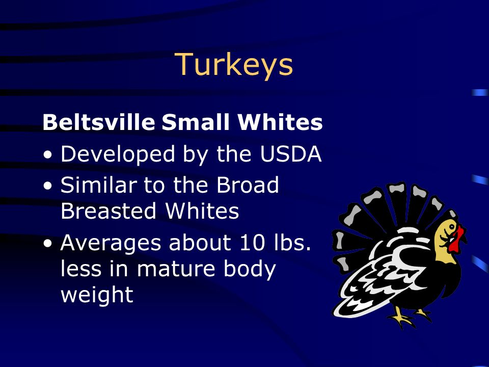 Turkeys Beltsville Small Whites Developed by the USDA