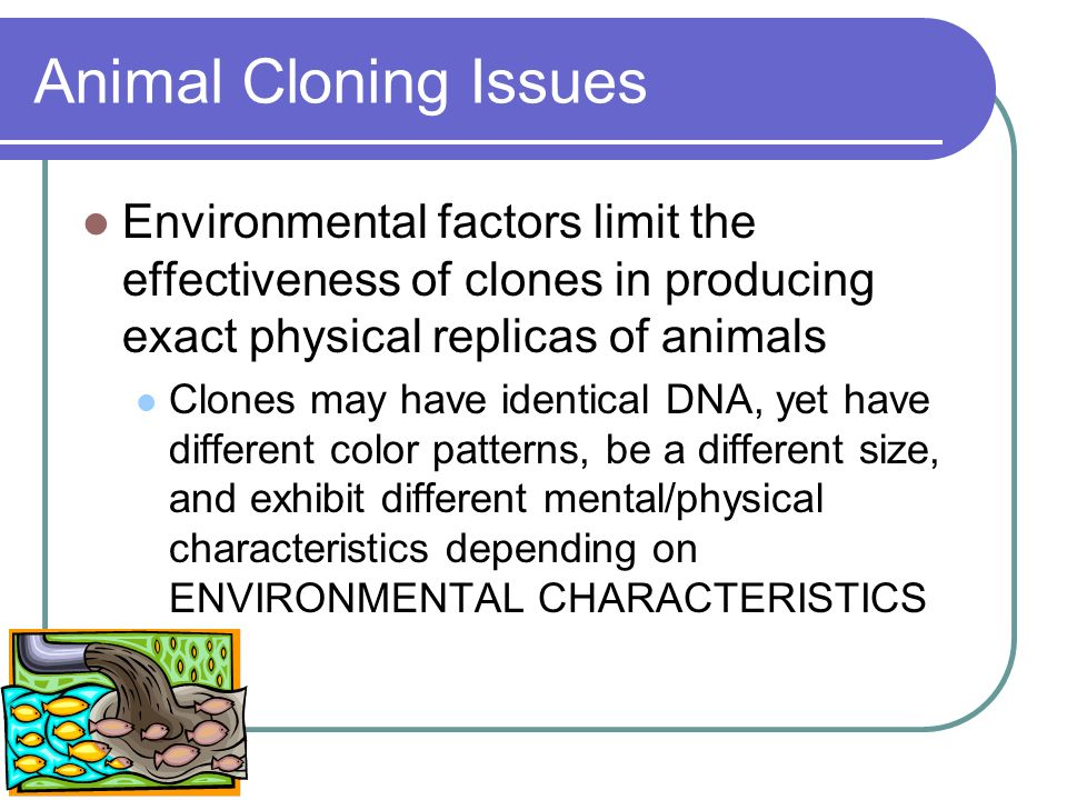 Animal Cloning Issues Environmental factors limit the effectiveness of clones in producing exact physical replicas of animals.
