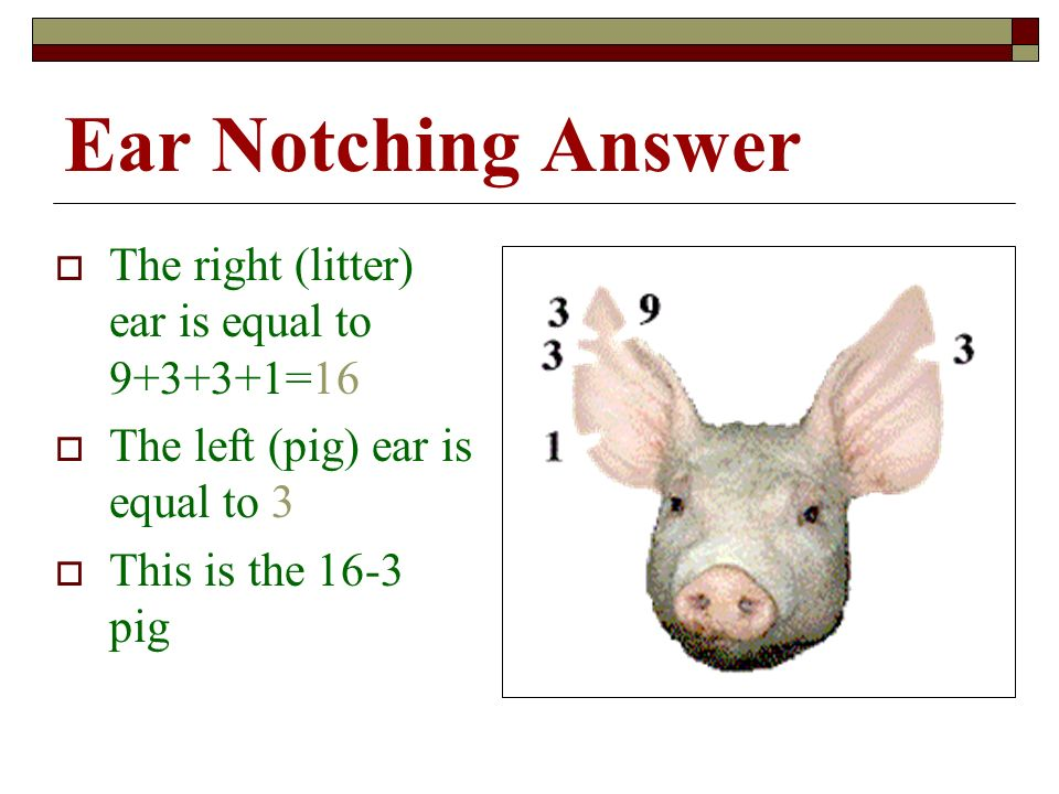 Ear Notching Answer The right (litter) ear is equal to 9+3+3+1=16