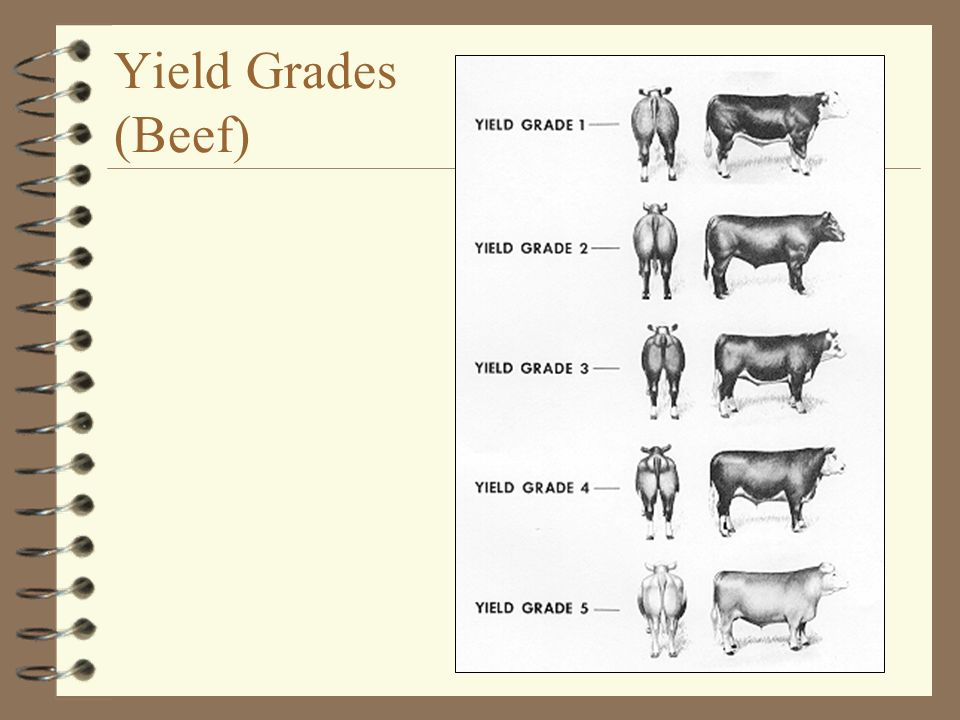 Yield Grades (Beef)