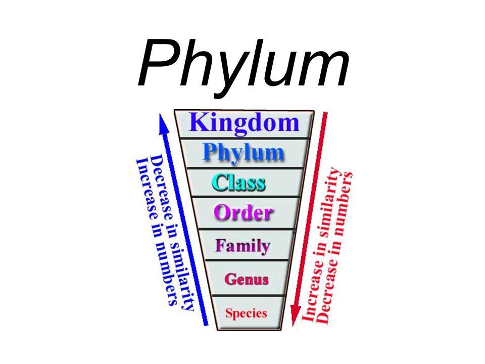 Phylum