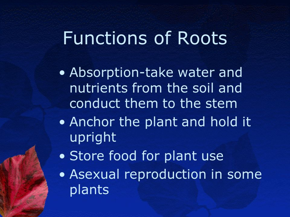 Functions of Roots Absorption-take water and nutrients from the soil and conduct them to the stem. Anchor the plant and hold it upright.