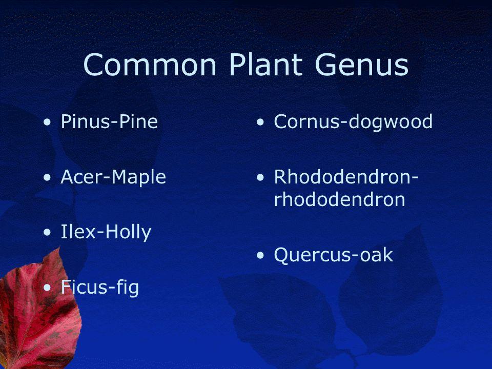 Common Plant Genus Pinus-Pine Acer-Maple Ilex-Holly Ficus-fig