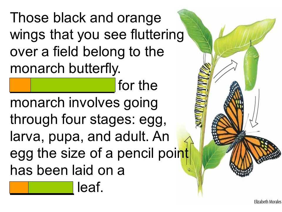Those black and orange wings that you see fluttering over a field belong to the monarch butterfly.