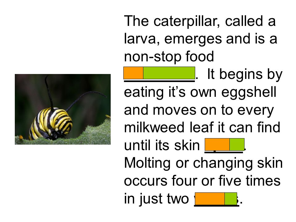 The caterpillar, called a larva, emerges and is a non-stop food consumer.