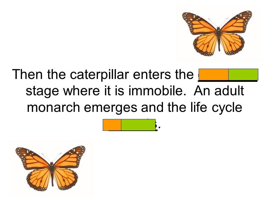 Then the caterpillar enters the chrysalis stage where it is immobile