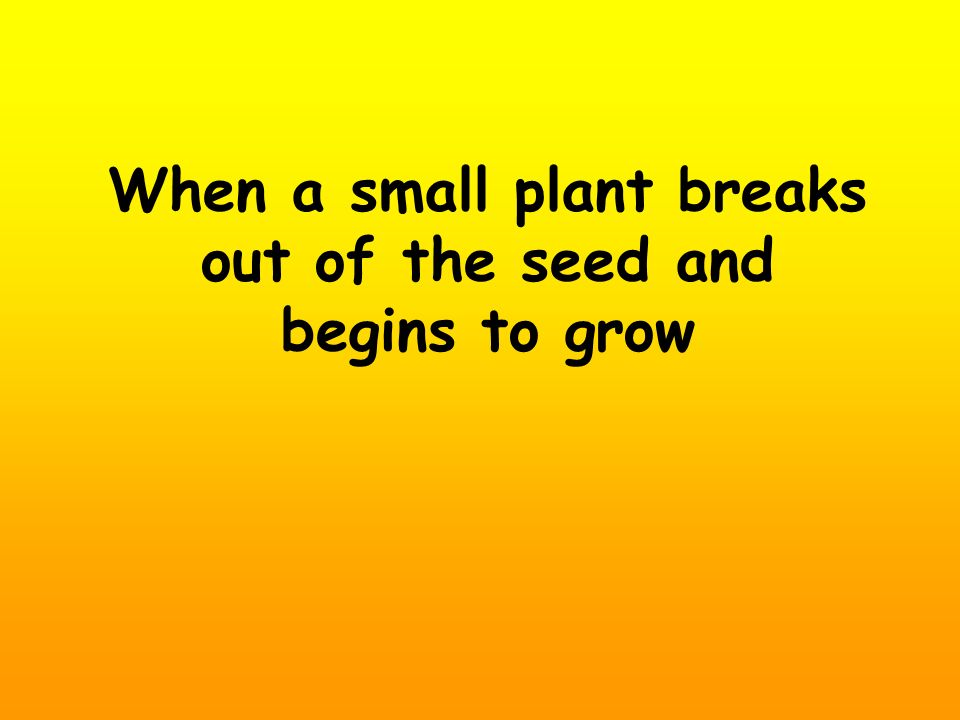 When a small plant breaks out of the seed and begins to grow