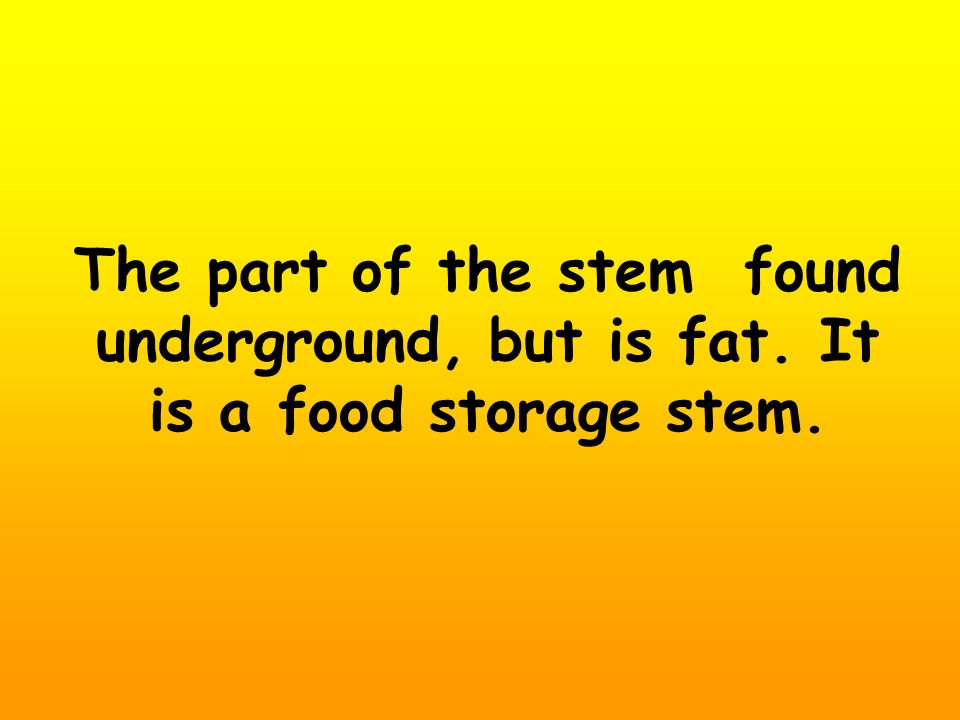 The part of the stem found underground, but is fat