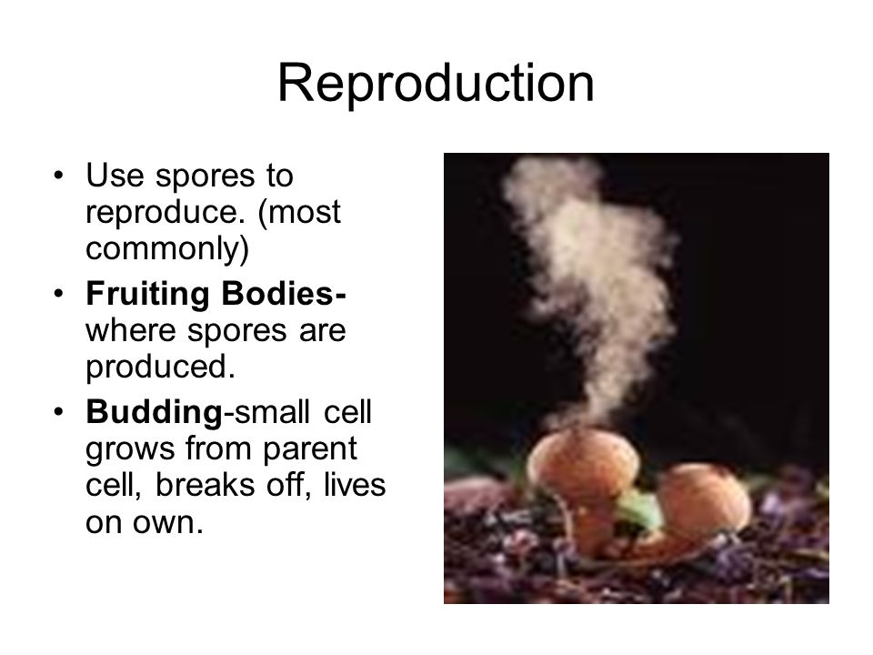 Reproduction Use spores to reproduce. (most commonly)