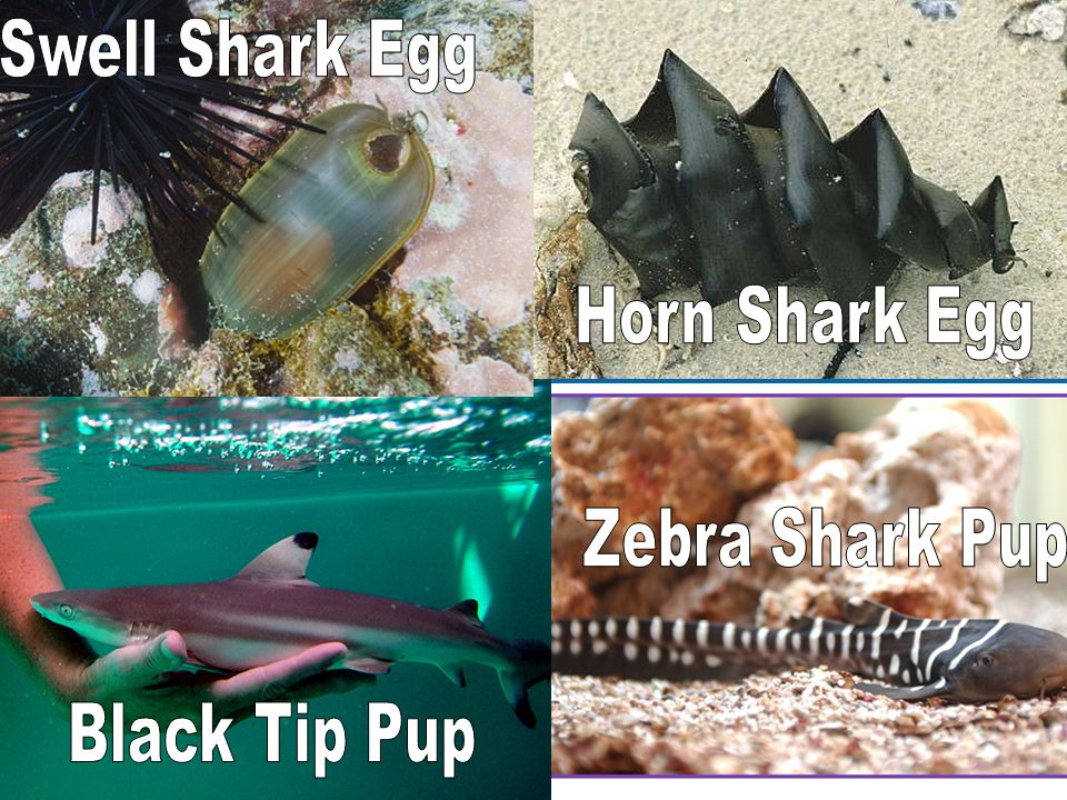 Swell Shark Egg Horn Shark Egg Zebra Shark Pup Black Tip Pup