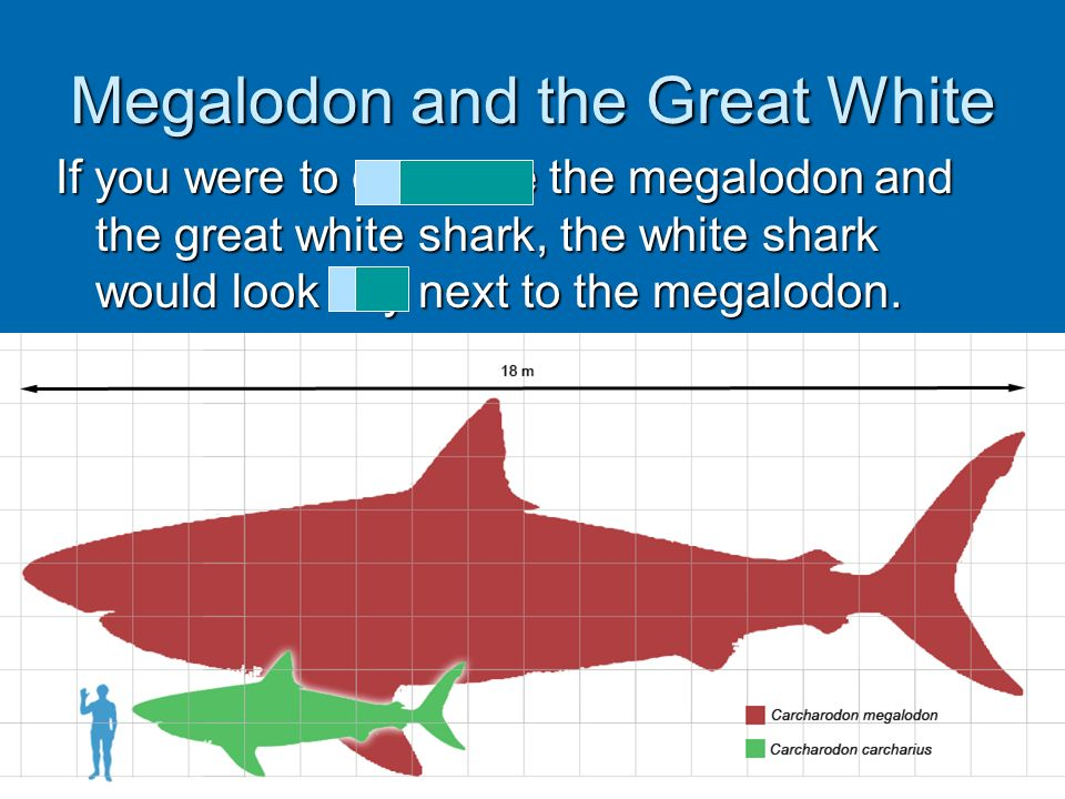 Megalodon and the Great White