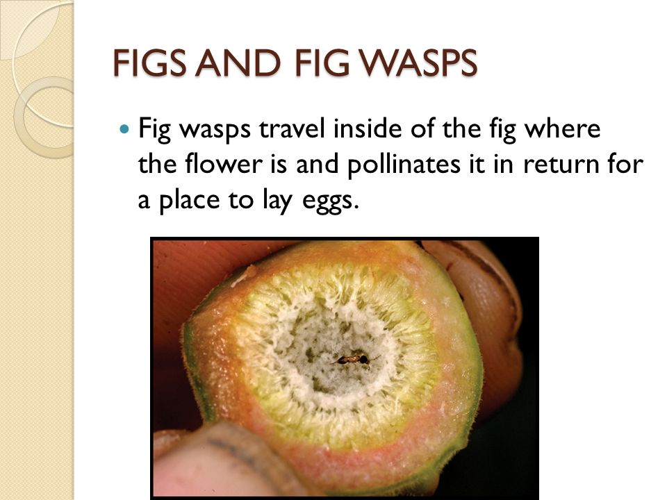 figs and wasps relationship quiz