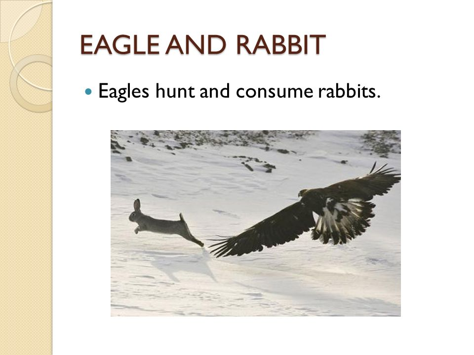 symbiotic relationship between eagle and rabbit