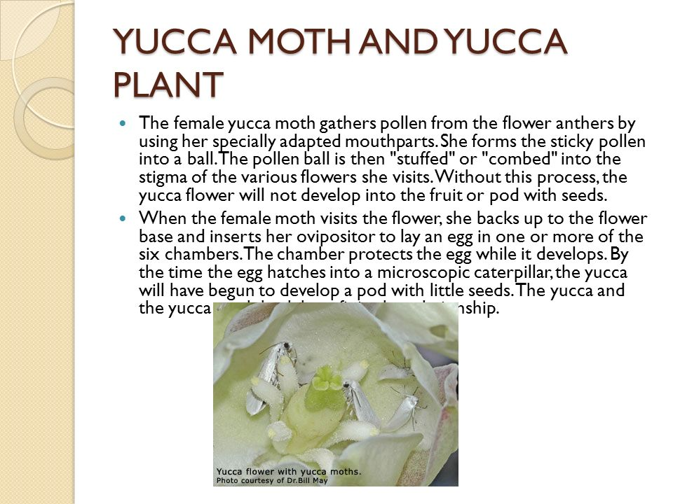 yucca flower and moth relationship poems