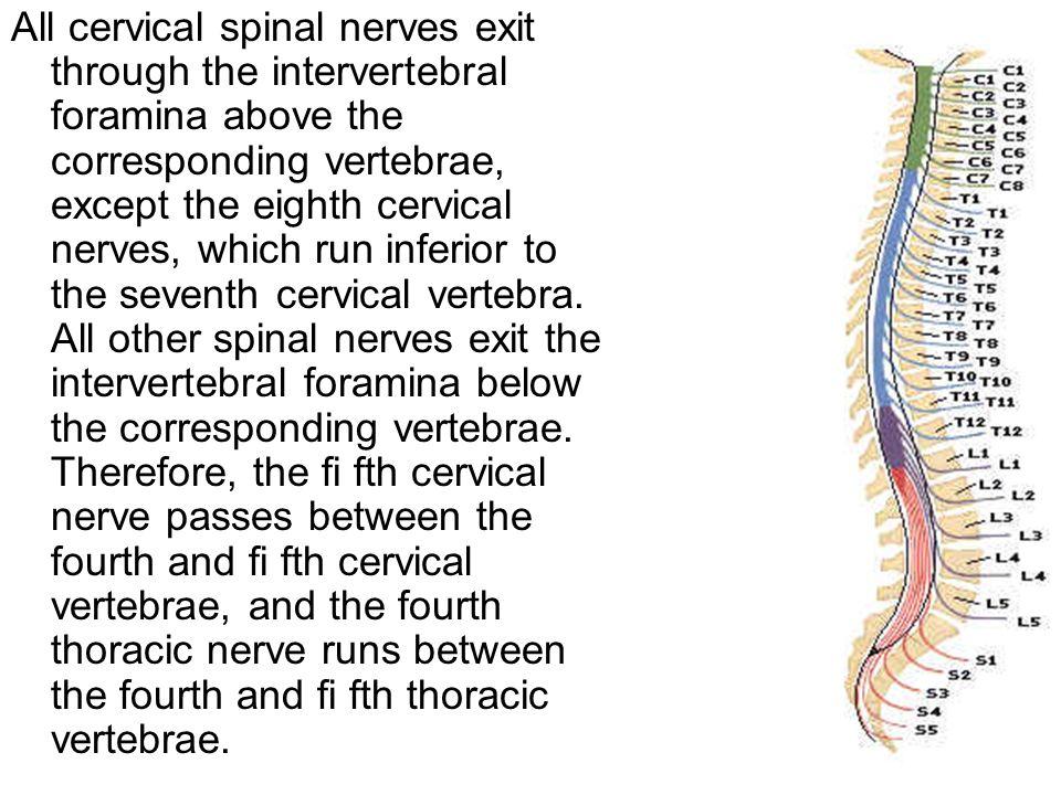 7th Cervical Vertebrae
