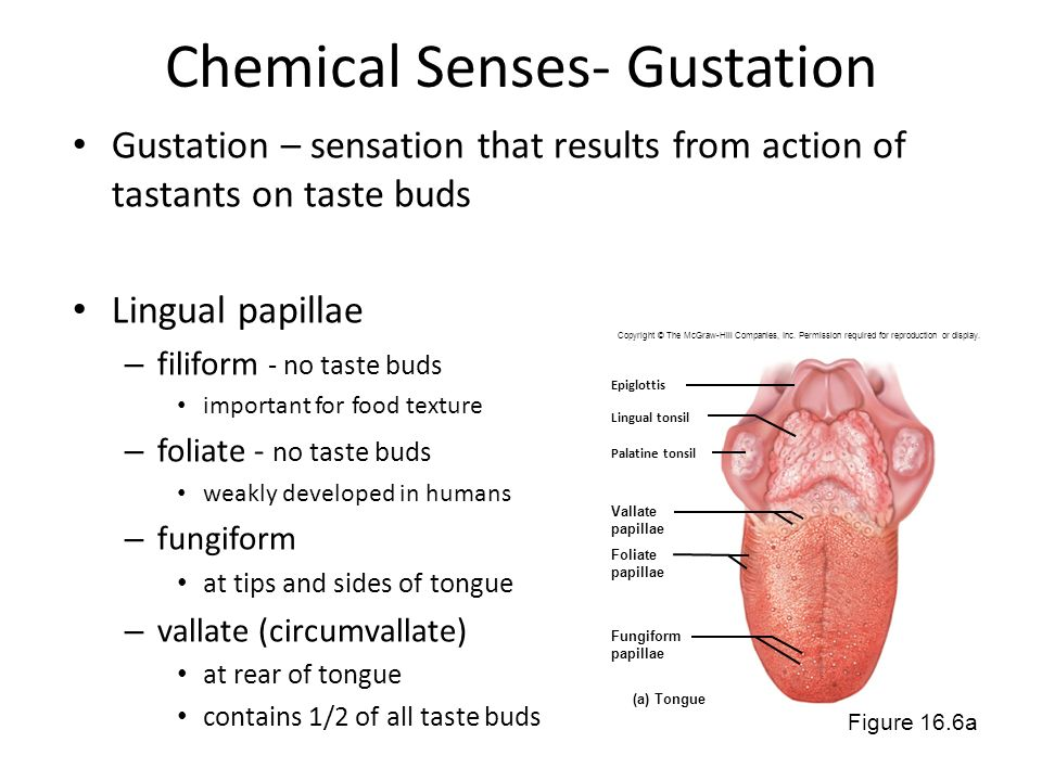 Chemical Senses- Gustation