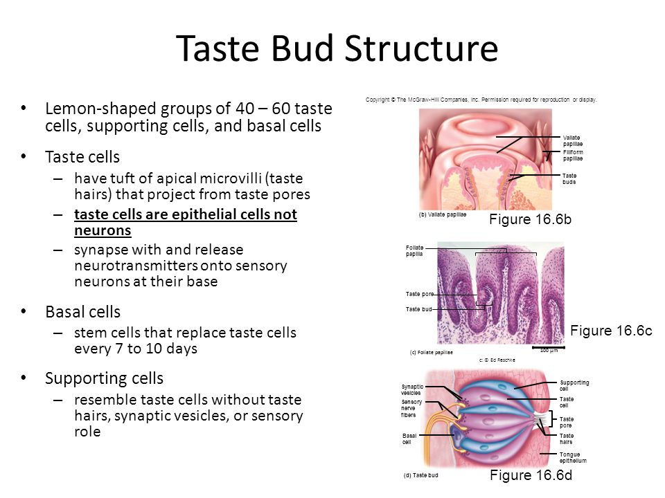 Taste Bud Structure Lemon-shaped groups of 40 – 60 taste cells, supporting cells, and basal cells. Taste cells.