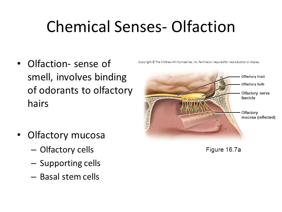 Chemical Senses- Olfaction
