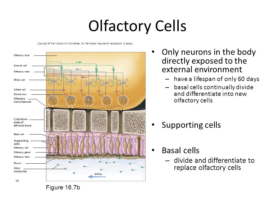 Olfactory Cells Copyright © The McGraw-Hill Companies, Inc. Permission required for reproduction or display.