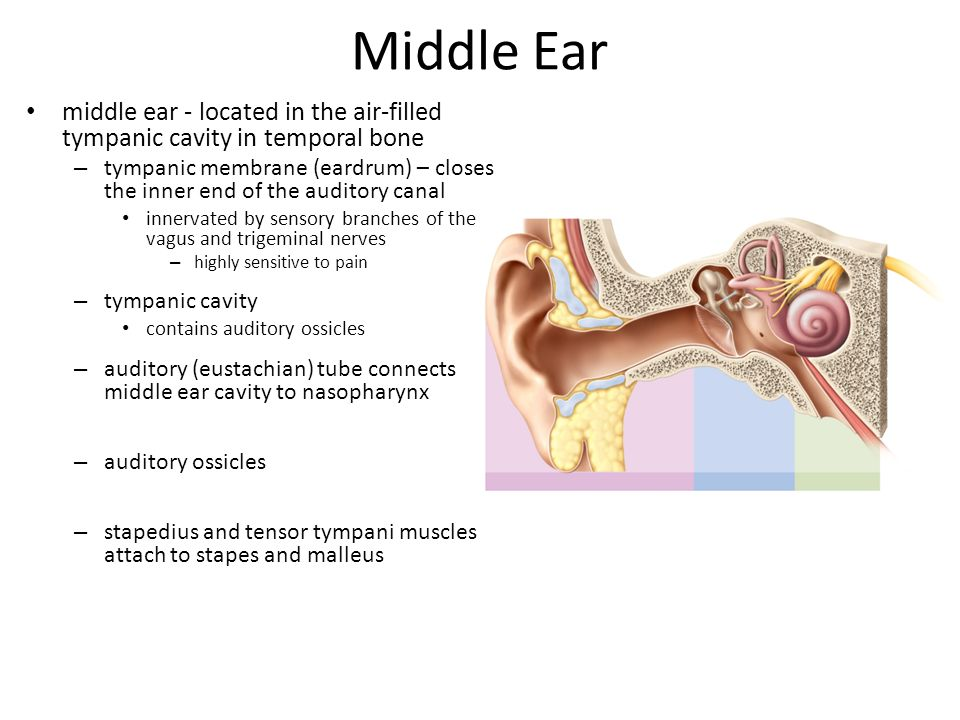 Middle Ear middle ear - located in the air-filled tympanic cavity in temporal bone.