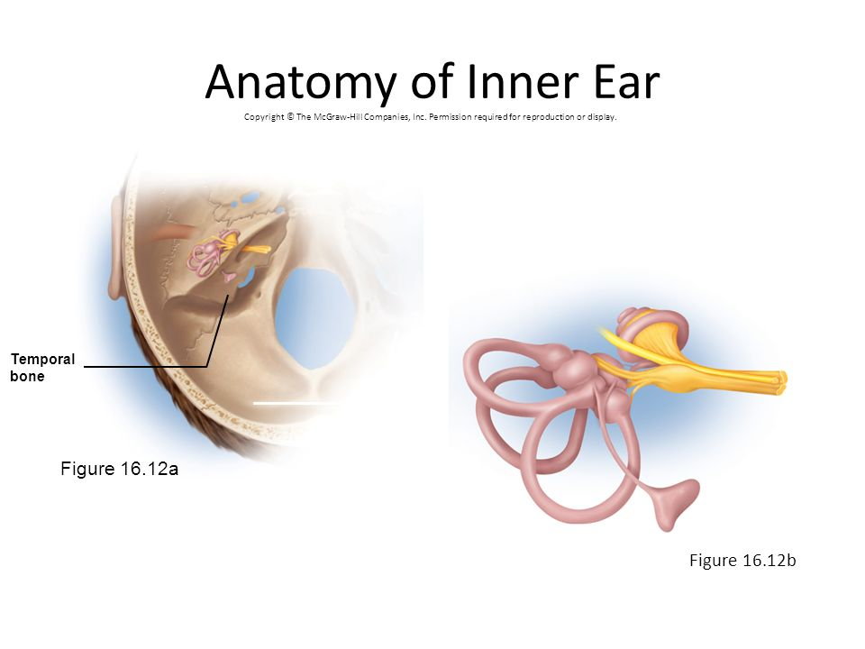 Anatomy of Inner Ear Figure 16.12a Figure 16.12b Temporal bone
