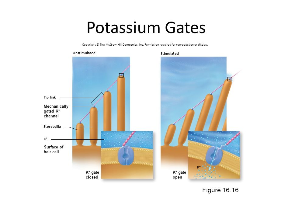 Potassium Gates Figure Unstimulated Stimulated Tip link