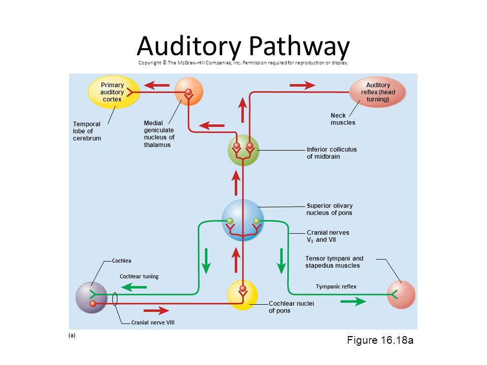 Auditory Pathway Figure 16.18a Primary auditory cortex Auditory