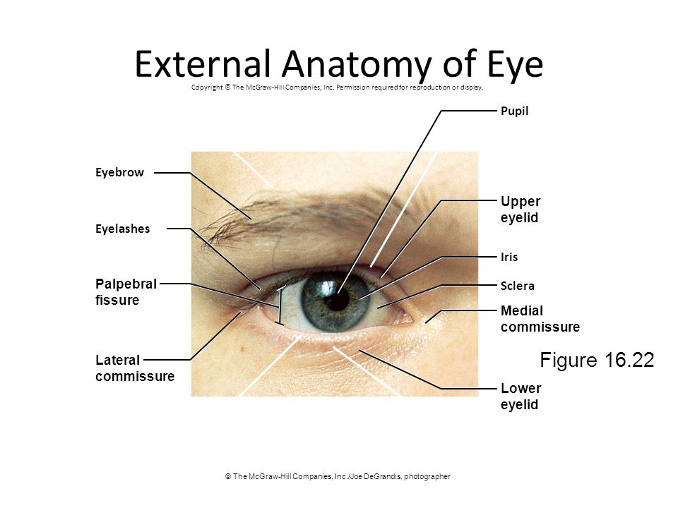 External Anatomy of Eye
