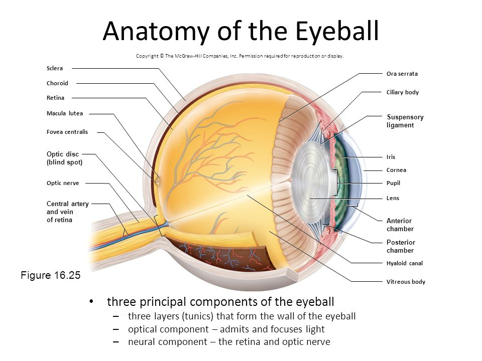 Anatomy of the Eyeball three principal components of the eyeball