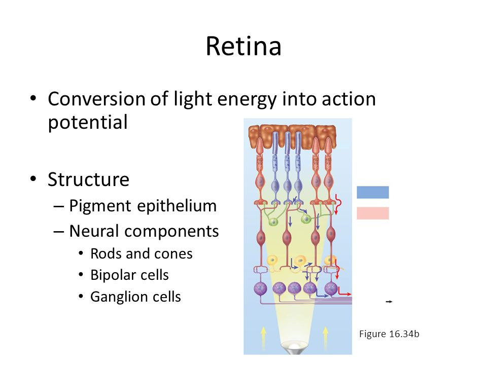 Retina Conversion of light energy into action potential Structure