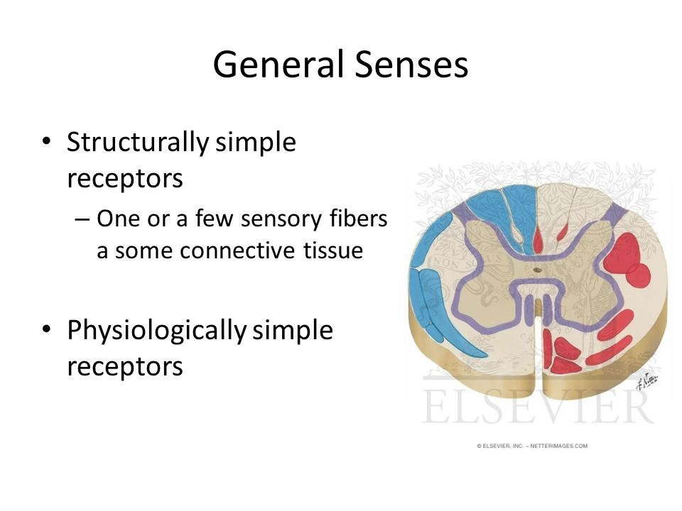 General Senses Structurally simple receptors