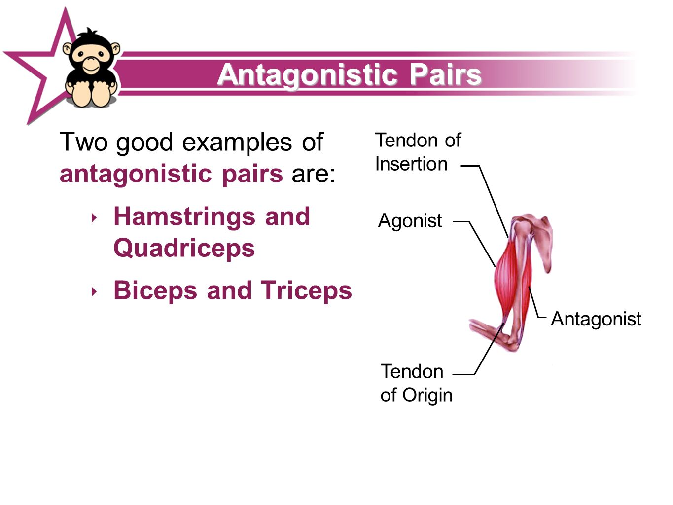 Isotonic Tendon Of Insertion Antagonist Synergists Fast Twitch