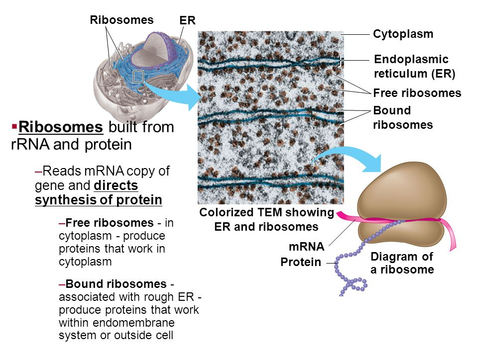 relationship between er and ribosomes picture