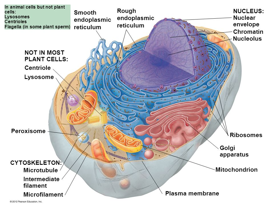 Tour of the Eukaryotic Cell - ppt download
