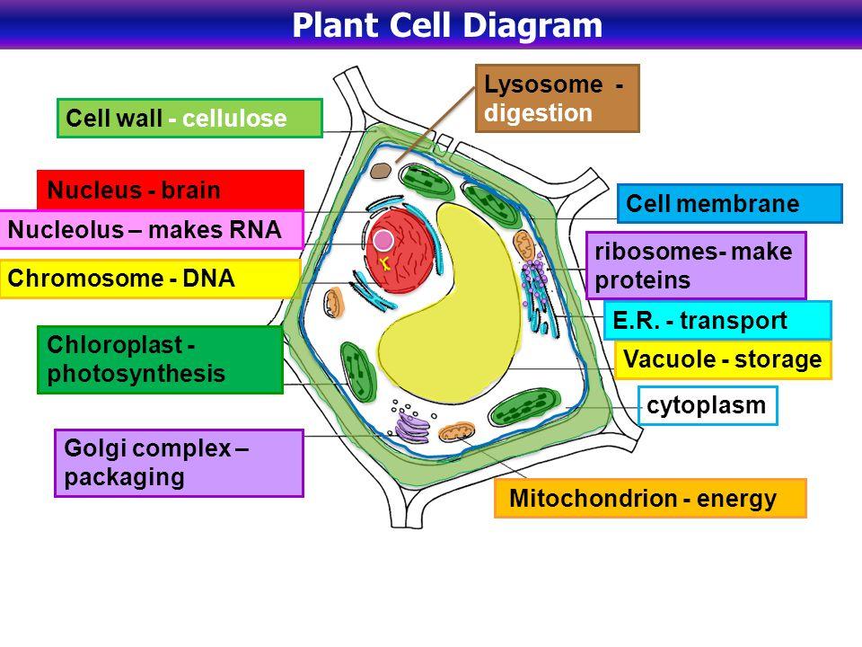 Plant cell cytoplasm diagram animalcarecollegefo plant cell cytoplasm diagram ccuart Images