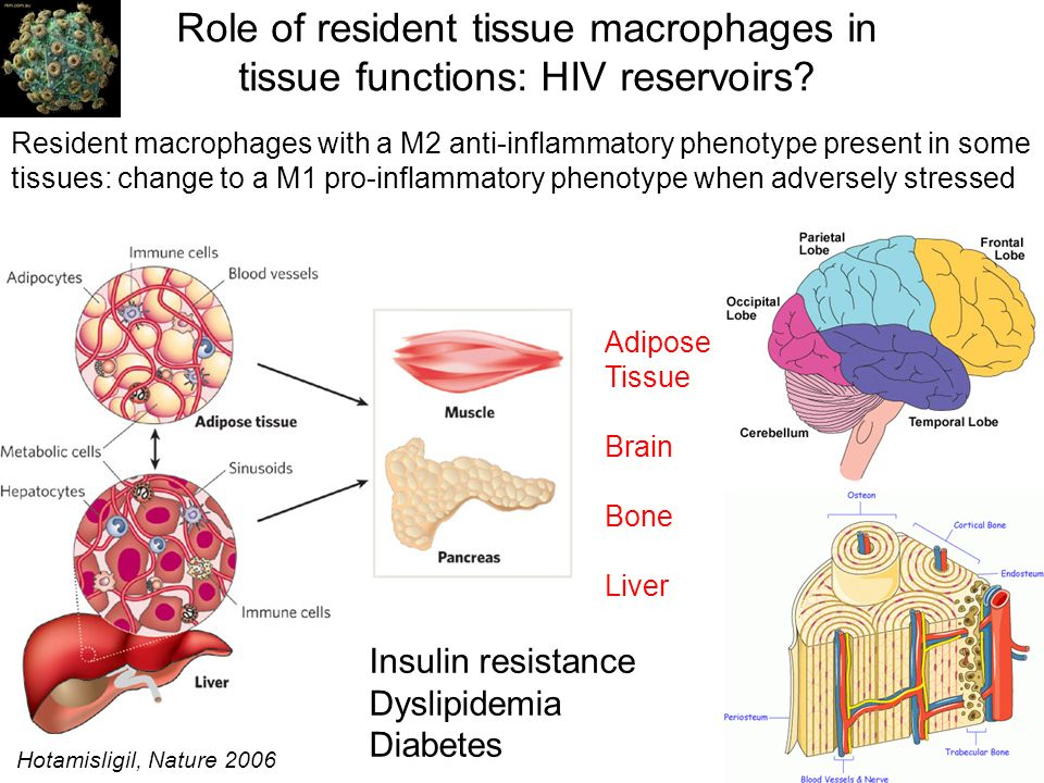 Role of resident tissue macrophages in tissue functions: HIV reservoirs