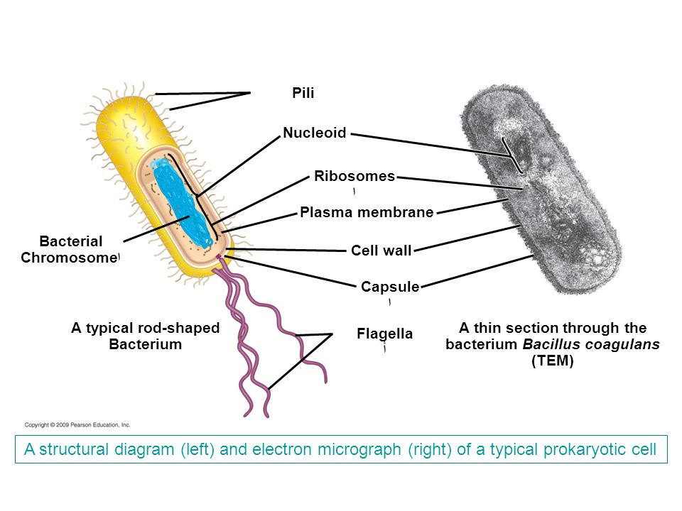 ppt download a thin section through the bacterium bacillus coagulans ccuart Gallery
