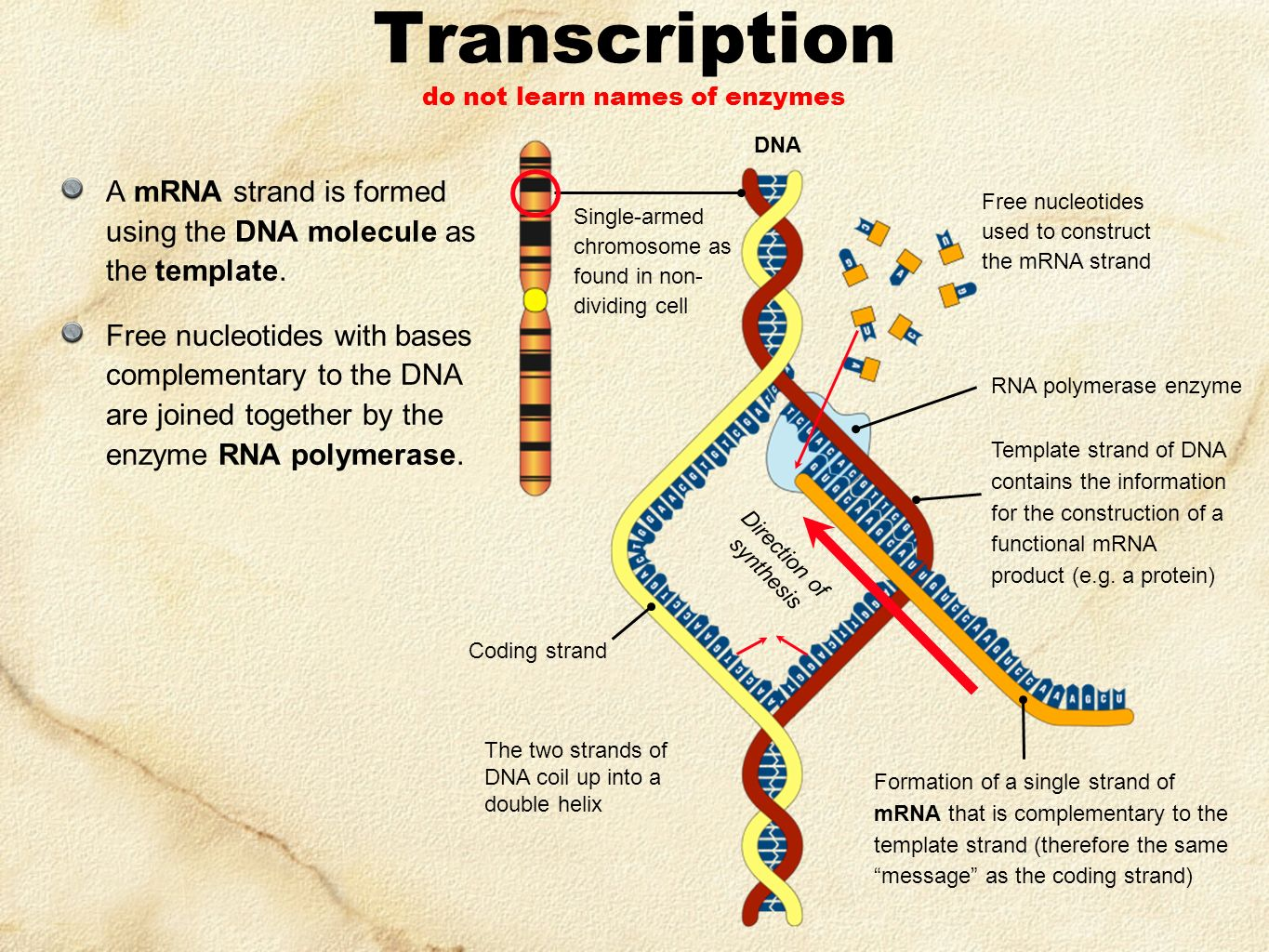 when an rna strand forms using dna as a template - genetics evolution series set 1 ppt video online download