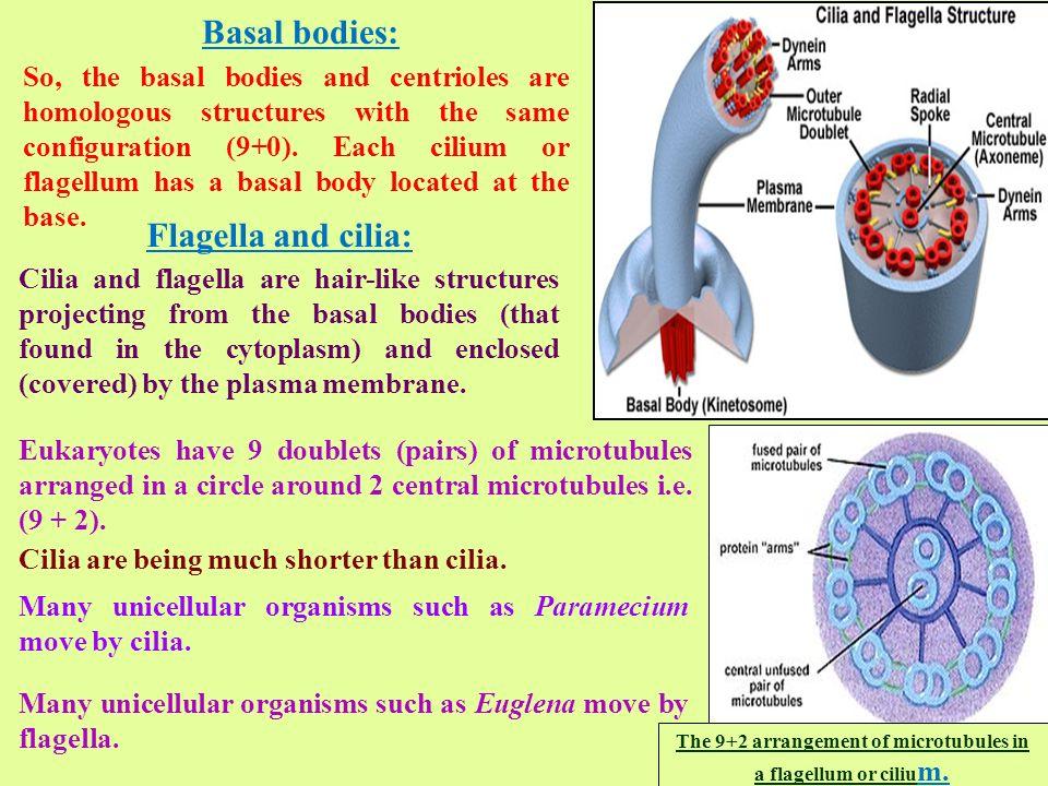 The 9 2 Arrangement Of Microtubules In A Flagellum Or Cilium