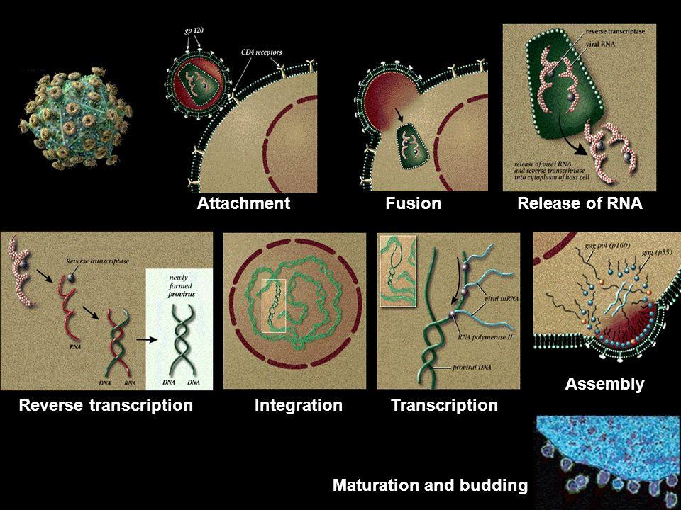 Attachment Fusion Release of RNA