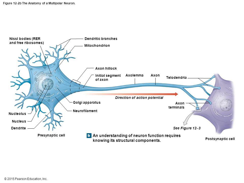 Anatomy Of A Multipolar Neuron Images - human body anatomy