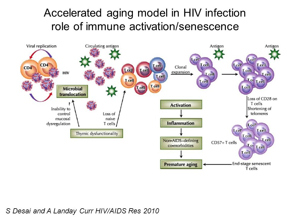 Accelerated aging model in HIV infection role of immune activation/senescence