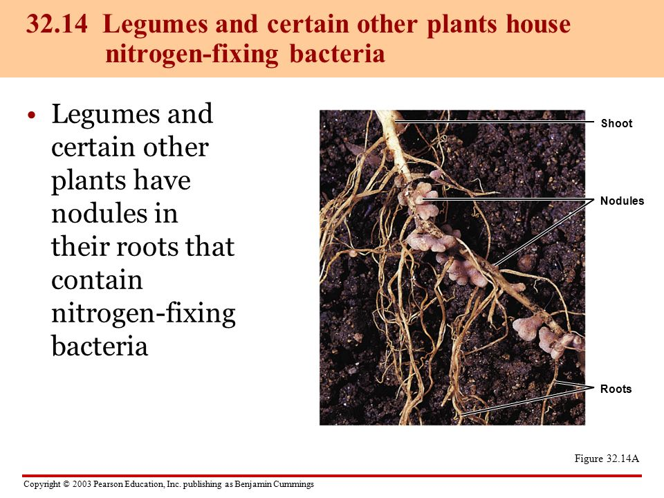 nitrogen fixing bacteria and legumes relationship tips