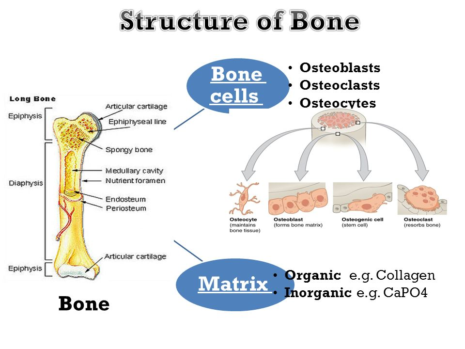Structure of Bone Bone cells Matrix Bone Osteoblasts Osteoclasts