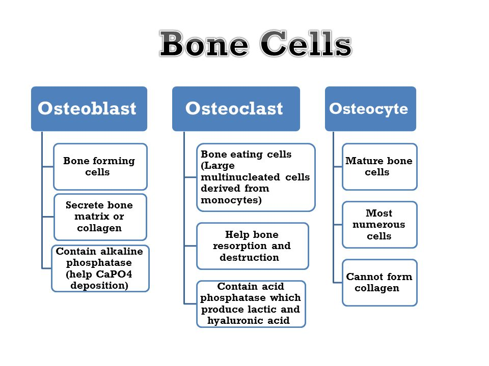 Bone Cells Osteoblast Osteoclast Osteocyte Bone forming cells