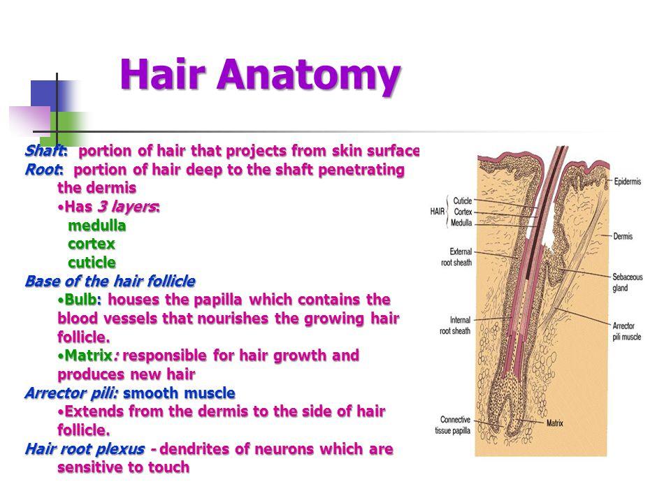 Exelent Anatomy Of Human Hair Pattern - Anatomy Ideas - yunoki.info